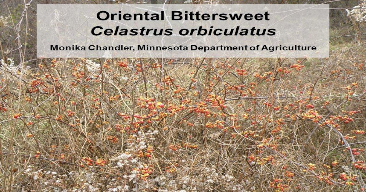 celastrus orbiculatus oriental bittersweet minnesota wildflowers